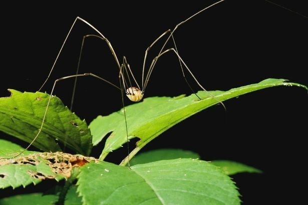 1411133722-daddy-long-legs-spider.jpg