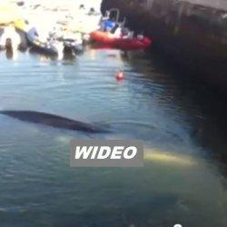 W porcie w Cork utknął ogromny wieloryb. Wideo