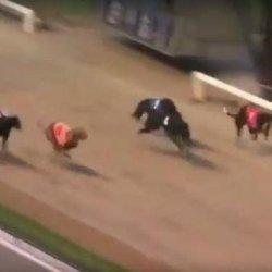 Zwycięski pies z Cork Greyhound Stadium pod wpływem kokainy