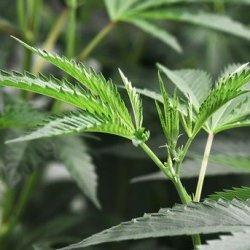 Polak aresztowany za posiadanie 10 kg marihuany