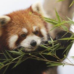 Panda uciekła z zoo w Belfaście