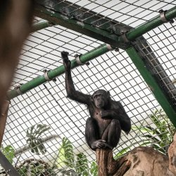 Szympansy uciekły z Zoo w Belfaście