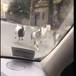 Kozy wstrzymały ruch w Cork, jedna z nich poszukiwana
