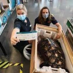 Żółw poleciał na Wyspy Kanaryjskie się leczyć