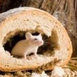 Myszy w polskiej piekarni