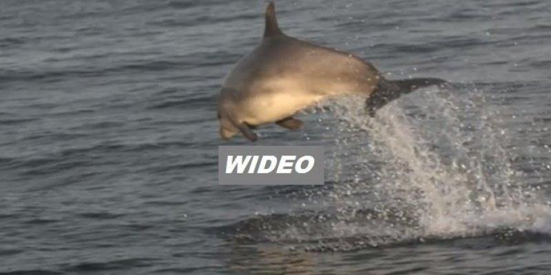 Zobacz stado około 50 delfinów widzianych w Donegal