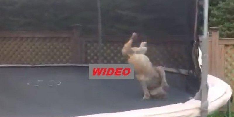 Ten pies kocha trampolinę ogrodową