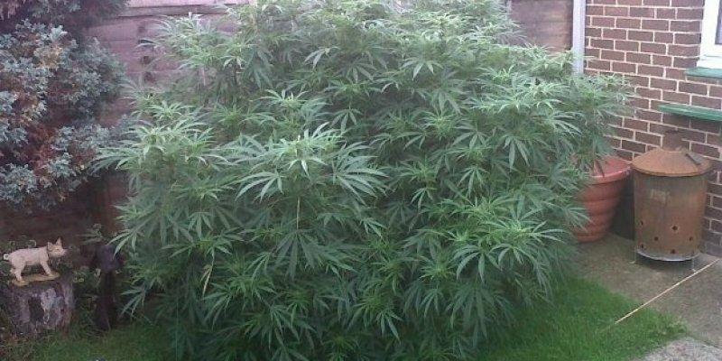 Babcia z dziadkiem niczego nie świadomi uprawiali marihuanę w swoim ogrodzie