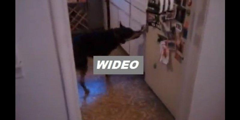 Czy ten pies umie ugotować obiad? Raczej nie, choć potrafi co nieco