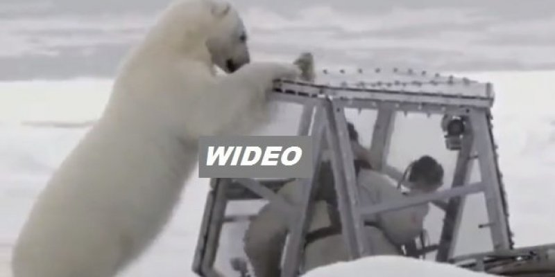 Zobacz bliskie spotkanie trzeciego stopnia z... głodnym misiem polarnym