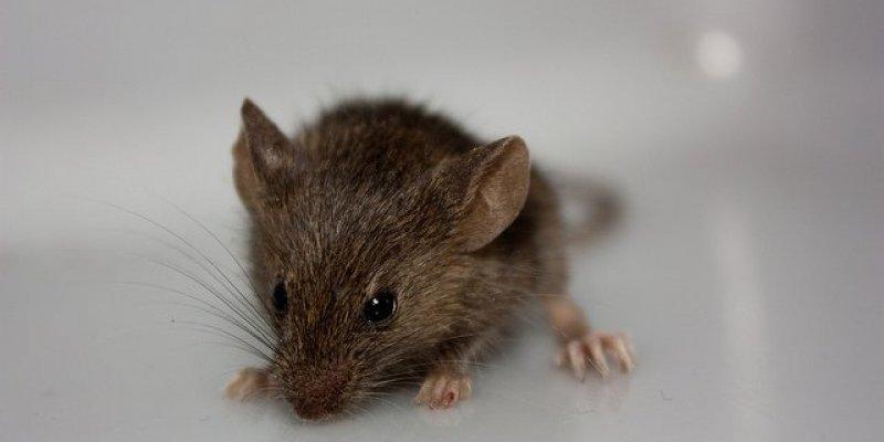 Samolot, który wczoraj urwał podwozie w Dublinie miał na pokładzie szczury i myszy