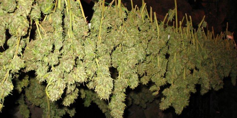 Zatrzymani za hodowlę marihuany w hrabstwie Kildare