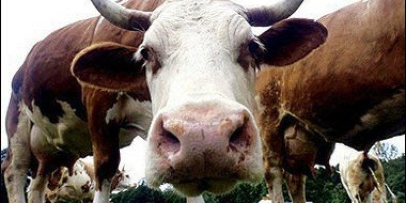 Czy powraca choroba wściekłych krów?
