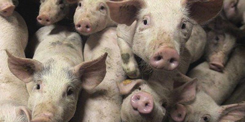 Zagłada świń w County Tyrone