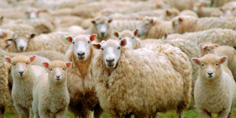 Skradziono owce, których mięso jest groźne dla człowieka