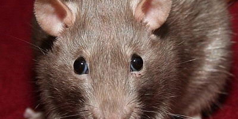 Uwaga na szczury, to jakieś mutanty!