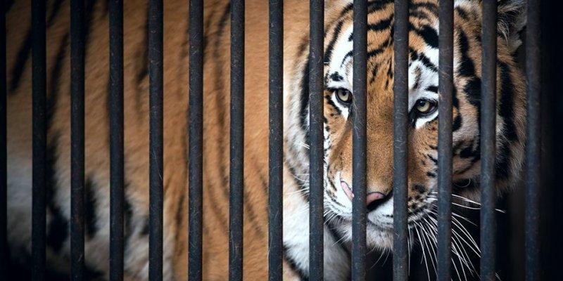 Tygrys na ulicach Paryża
