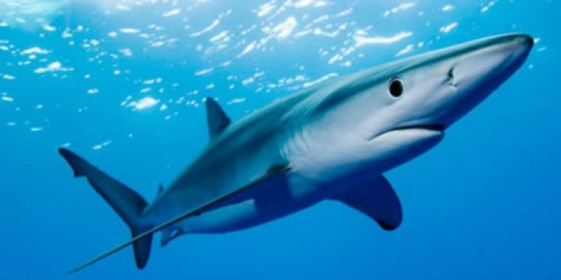 Rekin zaatakował u wybrzeży Irlandii