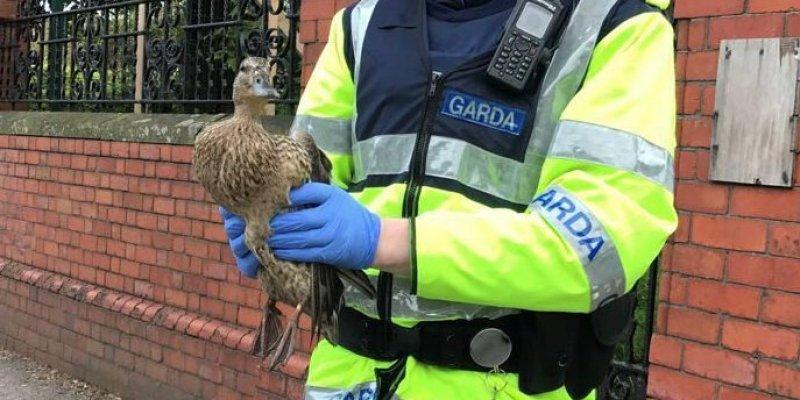 Kaczka zatkała Cork