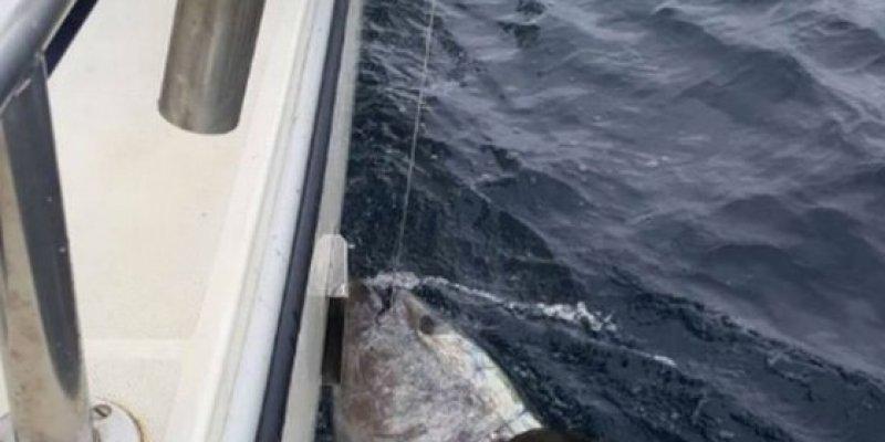 Tuńczyk gigant złowiony u wybrzeży Cork
