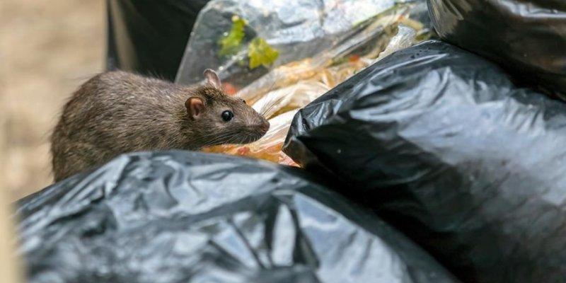 Inwazja szczurów w Dublinie