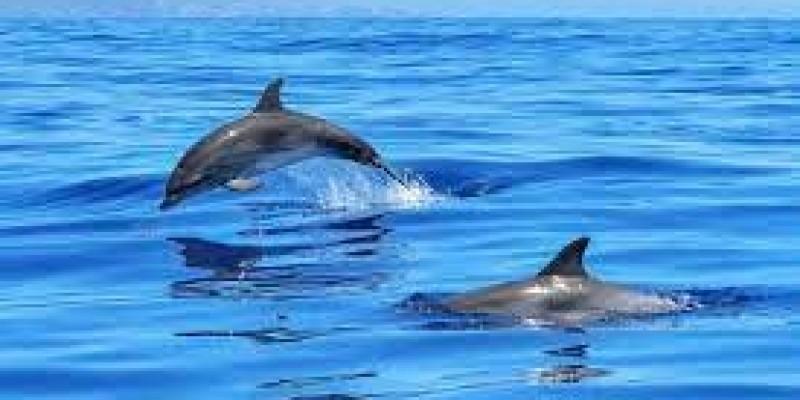 Delfiny uratowały pływającego mężczyznę